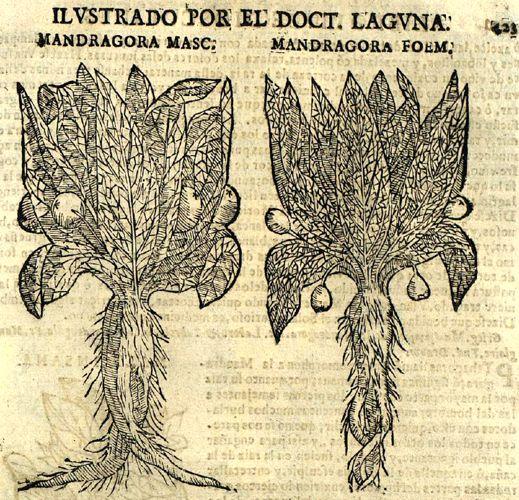 Αρσενικός (αριστερά) μανδραγόρας και θηλυκός (δεξιά) μανδραγόρας