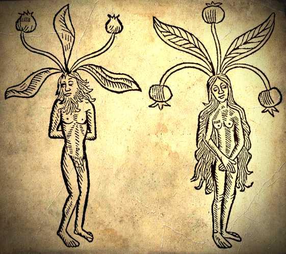 """Απεικόνιση αρσενικού και θηλυκού μανδραγόρα, από το βιβλίο """"De Hortus Sanitatis"""" (Γερμανία, 1491)"""