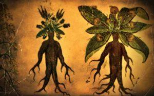 Μανδραγόρας, το φυτό των θαυμάτων και των θρύλων…