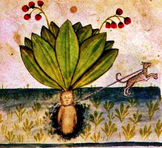 Σύμφωνα με τις μεσαιωνικές πεποιθήσεις, έδεναν έναν σκύλο στον μανδραγόρα, προκειμένου να τον ξεριζώσει, ώστε να αποφύγει τον θάνατο ή την παράνοια ο άνθρωπος