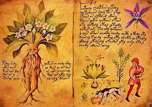 Απεικόνιση του μανδραγόρα από το μεσαιωνικό βοτανολογικό εγχειρίδιο Tacuinum Sanitatis