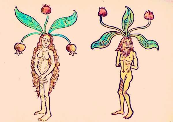 Αρσενικός και θηλυκός μανδραγόρας, Hortus sanitatis, 1491