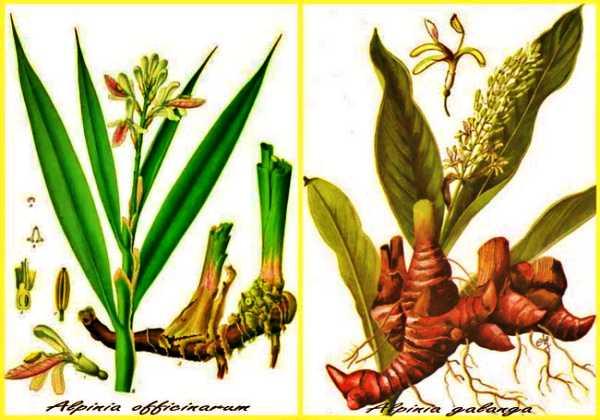 Το φυτό galanga