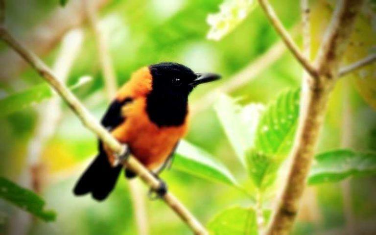 Το μοναδικό δηλητηριώδες πτηνό του κόσμου...