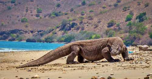Ο Δράκος του Komodo