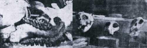 """Φωτογραφίες από τα ευρήματα των ανασκαφών στο Πικέρμι. Οδοντοστοιχία """"Μακροθηρίου της Αττικής"""" (αριστερά) και κεφαλές Μεσοπιθήκων (δεξιά)"""