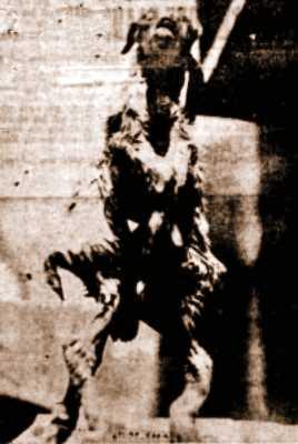 """Φωτογραφία του ζώου, όπως δημοσιεύθηκε στην εφημερίδα """"ΑΚΡΟΠΟΛΙΣ"""""""